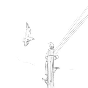 a pencil drawing of one gull at the top of a telegraph pole, looking at another bird who is looking for somewhere to land.
